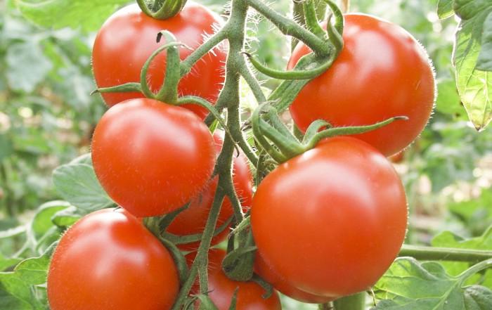 Tomate einsäen, vorziehen, pflanzen