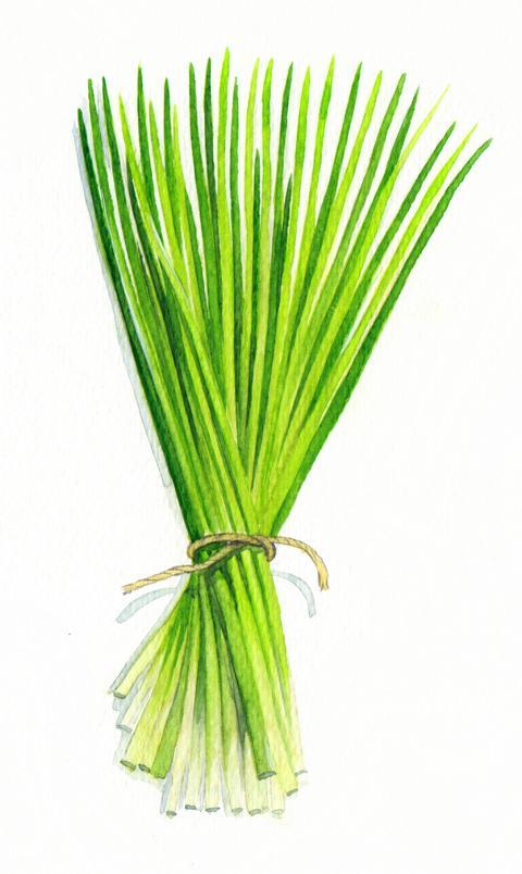 Bio Saatgut Schnittlauch mittelgrobröhrig