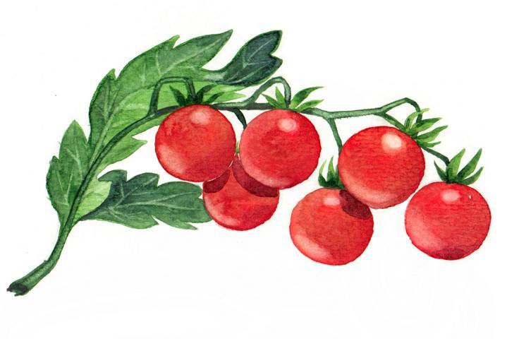 Bio Saatgut Tomate Zuckertraube