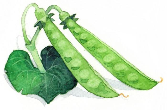 Bio Saatgut Zuckererbse Ambrosia