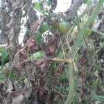 Schwarze Blätter, braune Stämme: Braunfäule auf Tomaten