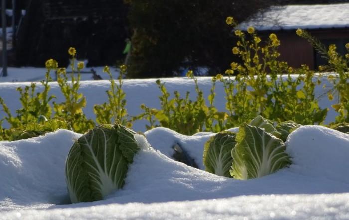 Dieses Gemüse ist winterhart