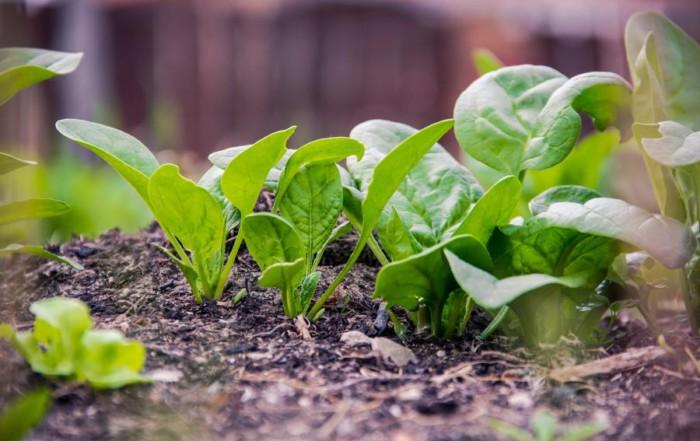 Gesunden Spinat anbauen - noch im Herbst säen