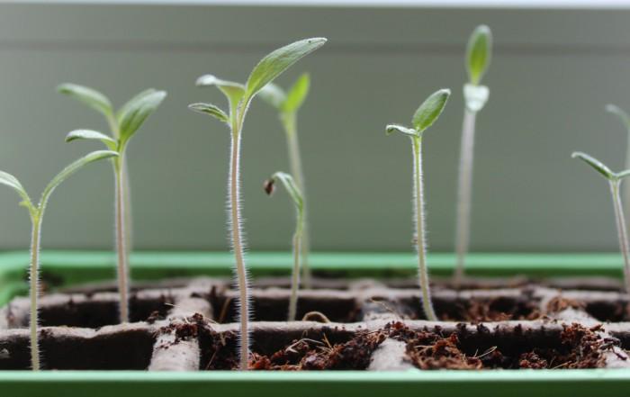 Keimlinge aus Bio-Samen wachsen in ihren Töpfen