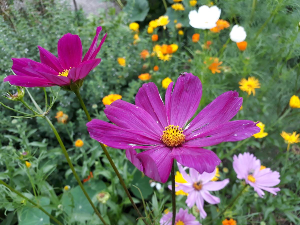 Cosmea, Ringelblume und andere essbare Blüten