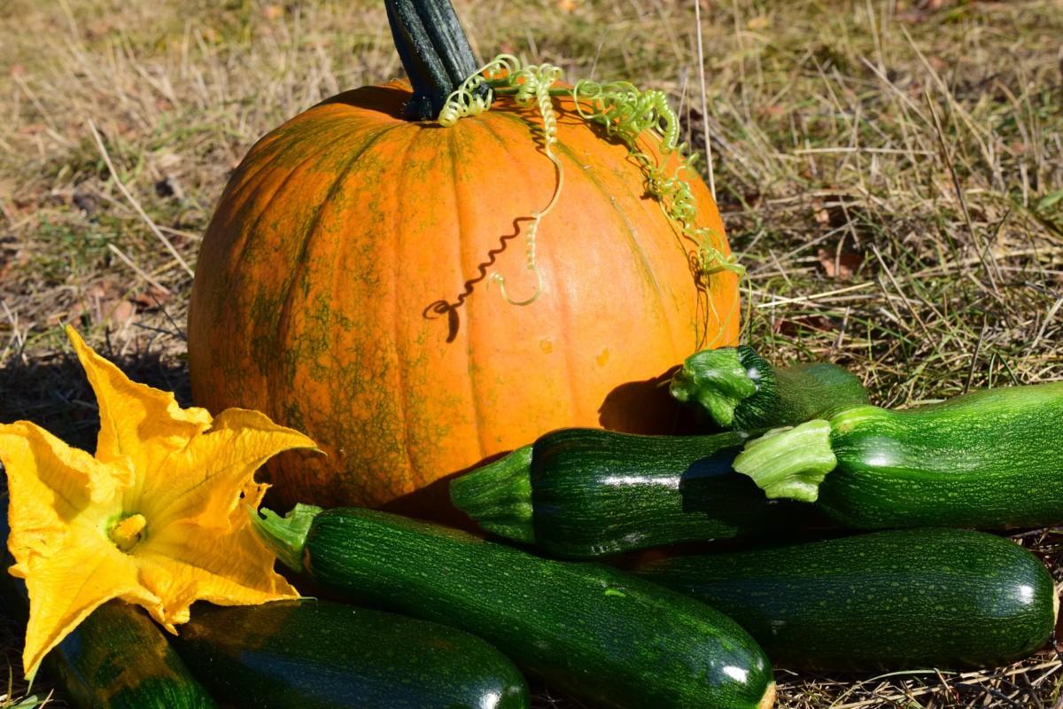 Achtung Bitterstoffe in selbst vermehrten Zucchini und Kürbissen