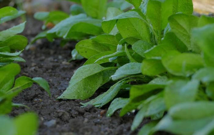 Späte Aussaaten: Spinat, Feldsalat als Wintergemüse
