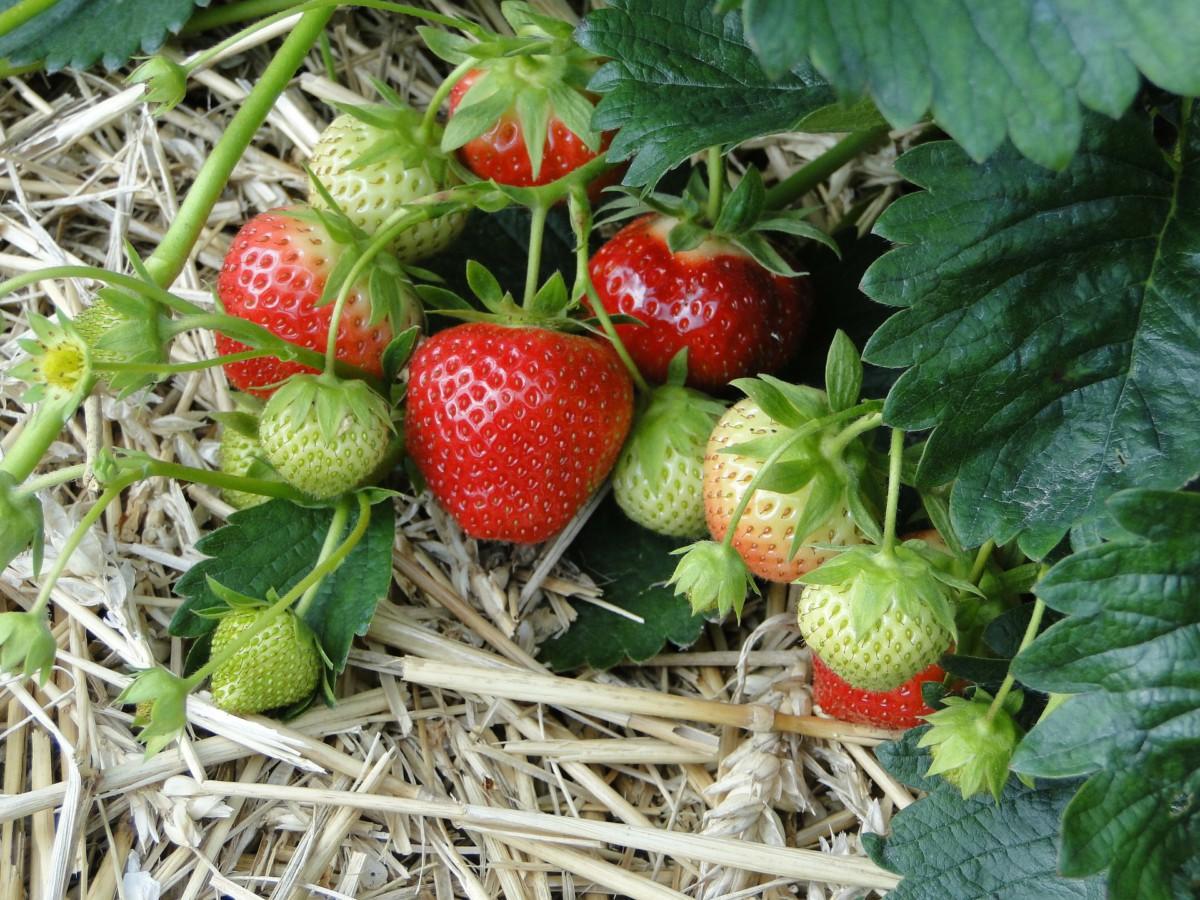 Erdbeeren im Beet gut gemulcht