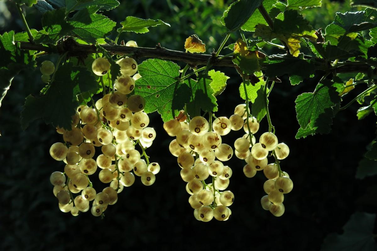 Johannisbeeren und anderes Obst schneiden, pflegen, vermehren.