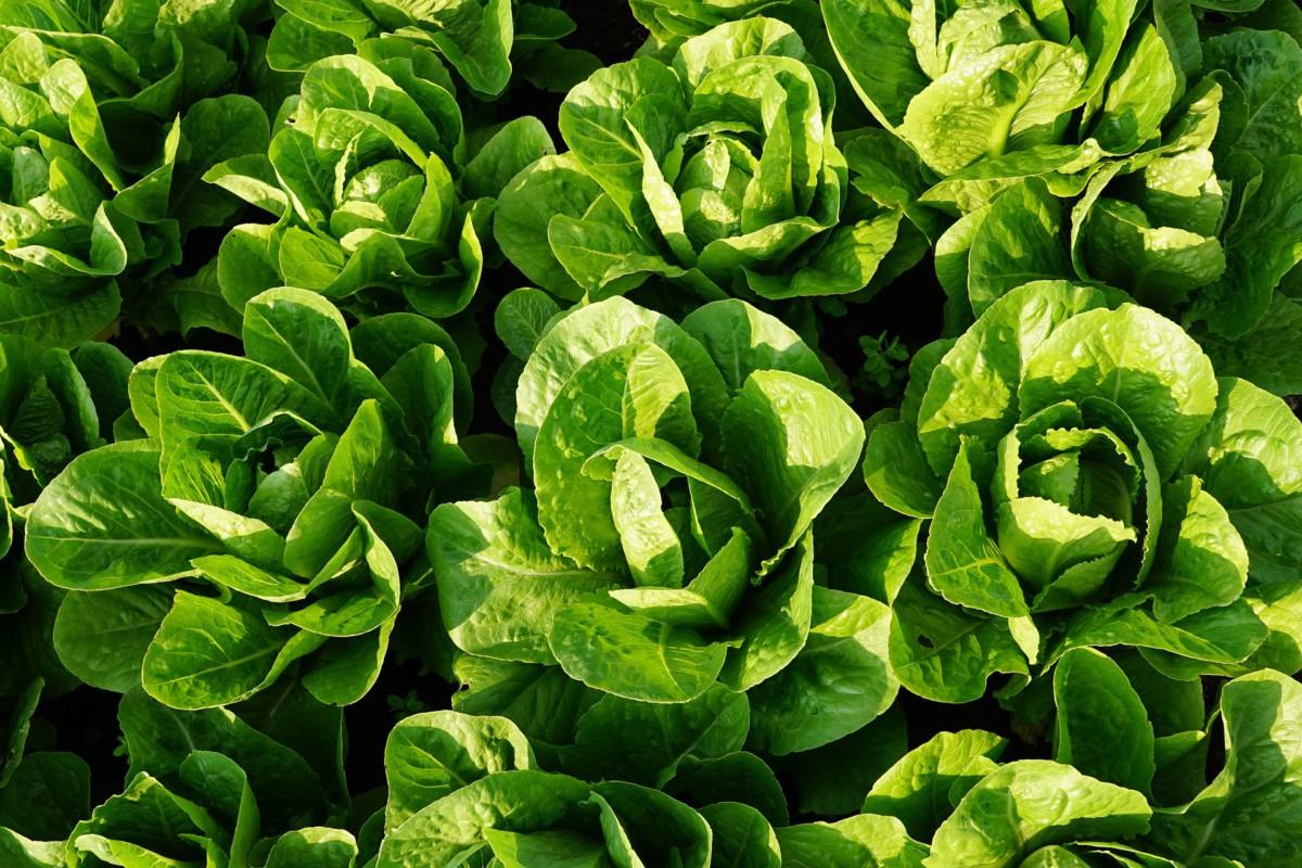 Feldsalat ist eine gute Gründüngung