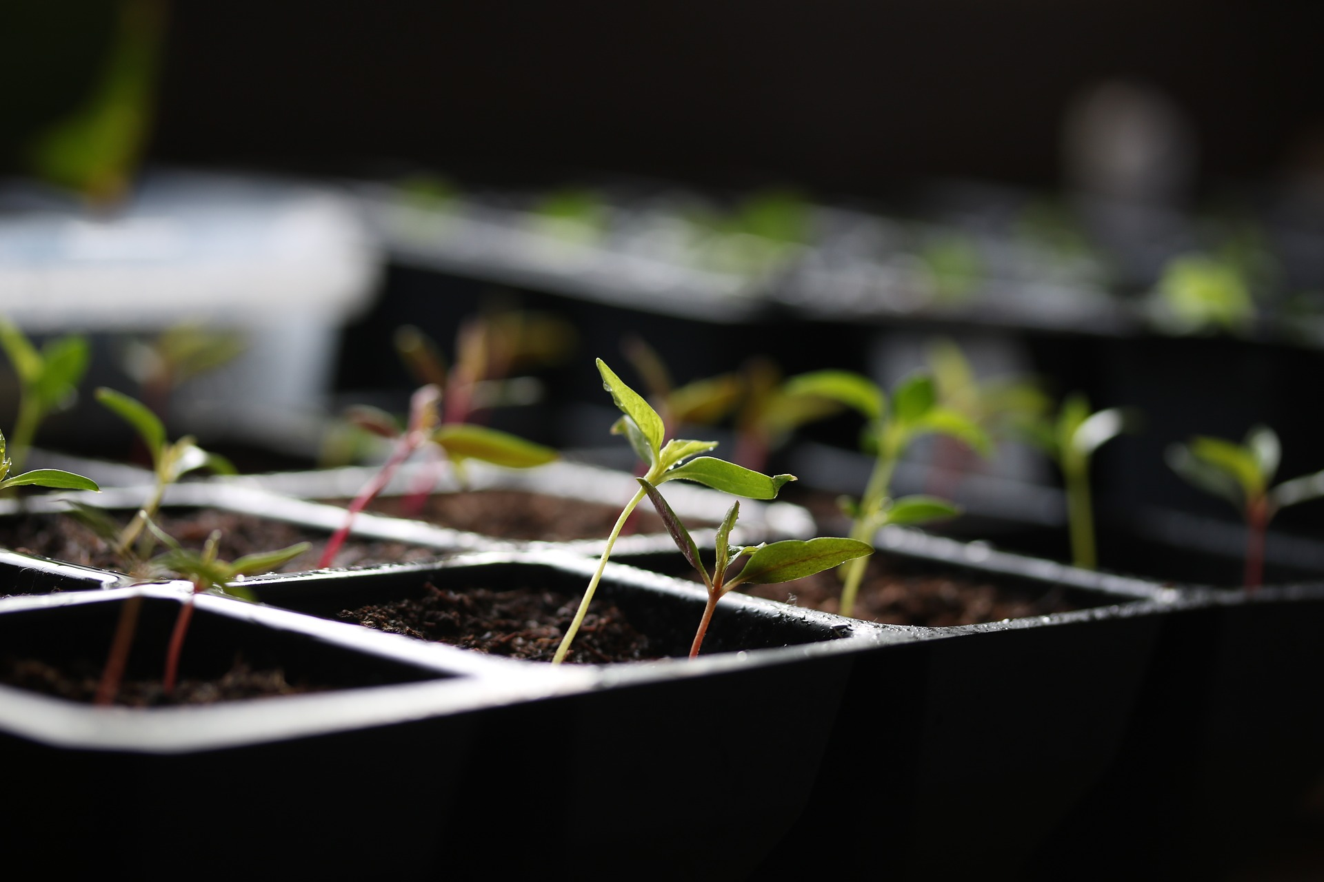 Gemüse vorziehen auf dem Fensterbrett