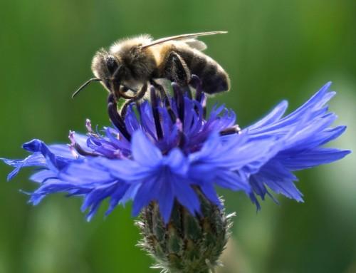 Bienenfreundlich auf dem Balkon – unsere Tipps, Teil 2
