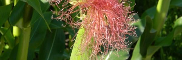 Zuckermais anbauen, säen, pflanzen, ernten