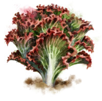Salat pflanzen