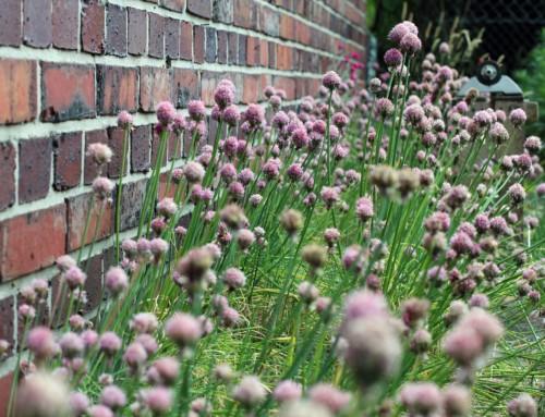 Schnittlauch-Samen selbst vermehren