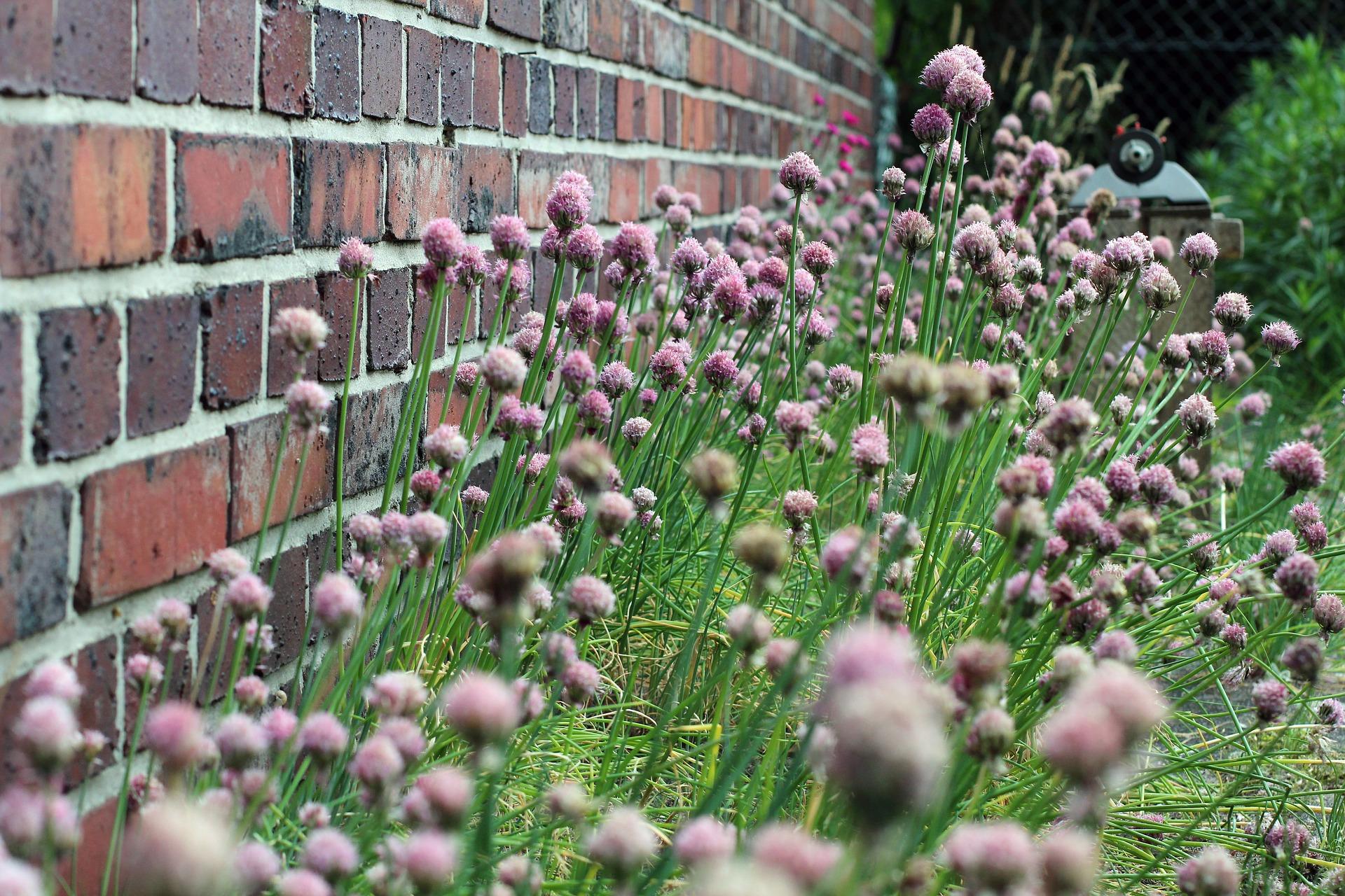 Schnittlauch Samen selbst vermehren