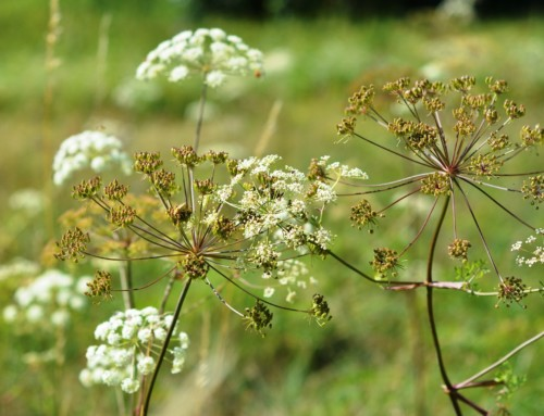 Petersilie-Samen vermehren