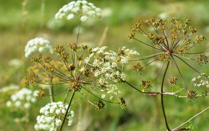 Petersilie-Samen selbst vermehren